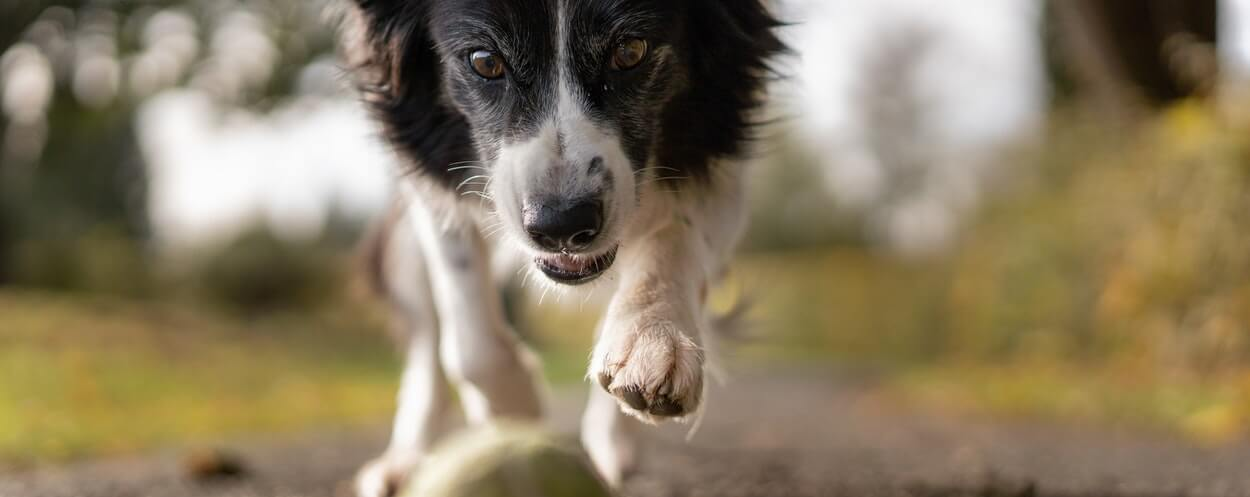 Dog chasing after a ball in the park. The dog has an aggressive expression on it's face.